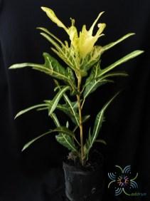 โกสนตรีน้ำตก Codiaeum variegatum (L.) Rumph. ex A.Juss.