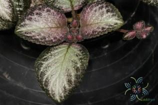 พรมกำมะหยี่ 'Silver Skies' Episcia cupreata (Hook.) Hanst.