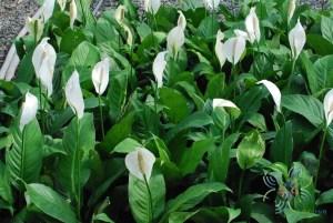 เดหลีใบกล้วย Spathiphyllum cannifolium (Dryand. ex Sims) Schott