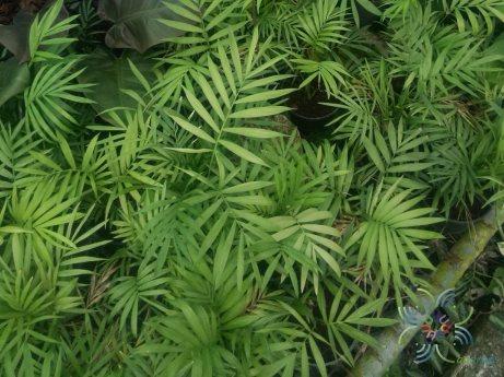 ปาล์มไผ่ Chamaedorea seifrizii Burret 7