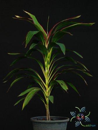 หมากผู้หมากเมีย เพชรพวงทอง Cordyline fruticosa (L.) A.Chev. 'Phetphuangthong'