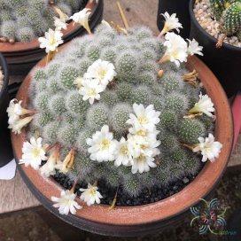 รีบูเทีย พูลวิโนซา Rebutia pulvinosa F. Ritter & Buining
