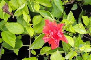 ชบาฮาวายซ้อนสีแดง Hibicus Hybrid