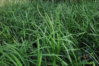 ซุ้มกระต่าย Ophiopogon jaburan (Siebold) Lodd.