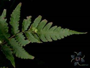 เฟินเทพนม Heterogonium pinnatum (Copel.) Holttum