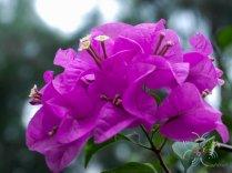 เฟื่องฟ้า สีม่วง #1 Bougainvillea hybrid