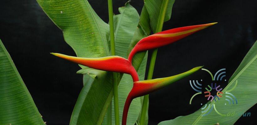 เฮลิโคเนีย รอลินเลียนา Heliconia × rauliniana Barreiros
