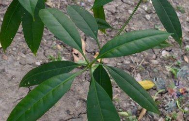 กันเกรา Fagraea fragrans Roxb.