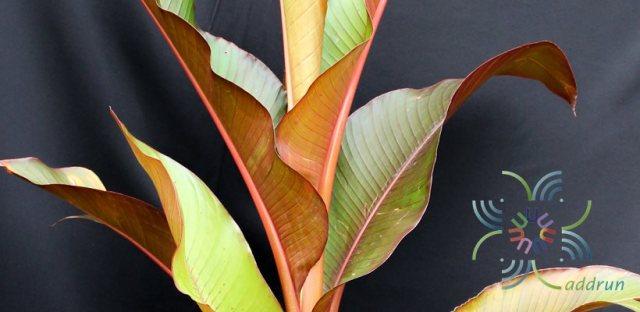 กล้วยแดง Heliconia indica Lam. 'Spectabilis'