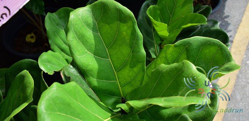 ไทรใบสัก Ficus lyrata Warb.