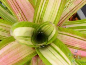สับปะรดสี นีโอเรเจเลีย มาร์ติน Neoregelia 'Martin'