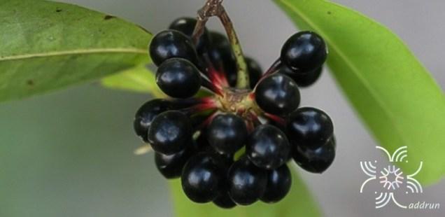 กลึงกล่อม Polyalthia suberosa (Roxb.) Thwaites