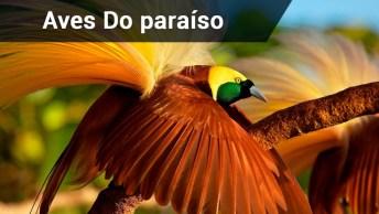Aves-Do-Paraíso E A Coreografia Da Dança Para Cortejar!