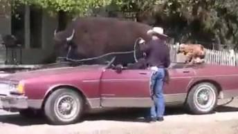 Touro Que Adora Andar De Carro, Olha Como Ele Vai Quietinho De Carona!