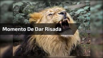 Video Do Leão Dando Risadas Divertidas, Uma Montagem Que Vai Te Fazer Rir!