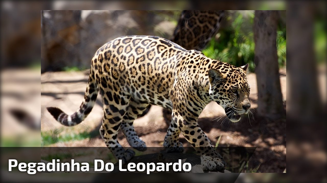 Pegadinha do Leopardo