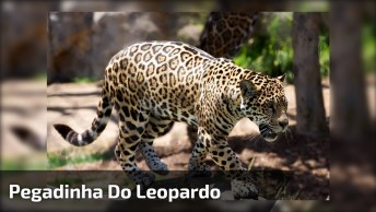 Pegadinha Do Leopardo, Essa É Antiga, Mas Continua Engraçada Hahaha!