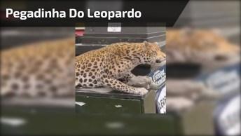 Pegadinha Do Leopardo Na Rua, Cuidado Por Onde Você Passa Hahaha!
