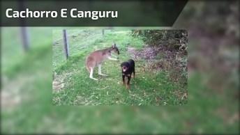 A Amizade Entre Um Cachorro E Um Canguru, Uma Amizade Inusitada Que Deu Certo!