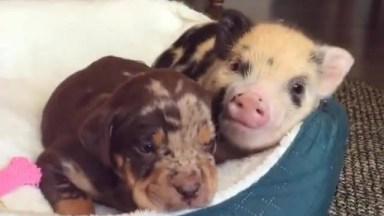 A Amizade Verdadeira Entre Um Cachorro E Um Porco, Que Fofinhos!