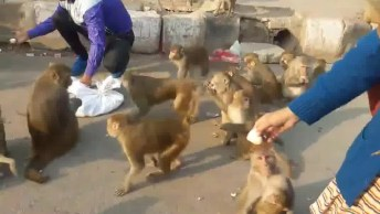 A Macacada Esta Solta, Veja Este Homem Alimentando Os Macacos!