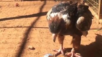 Águia Usando Uma Pedra Para Quebrar Um Ovo, Olha Só Que Animal Inteligente!