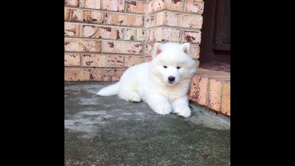 Akita Inu uma raça de cachorro de origem japonês muito linda!!!