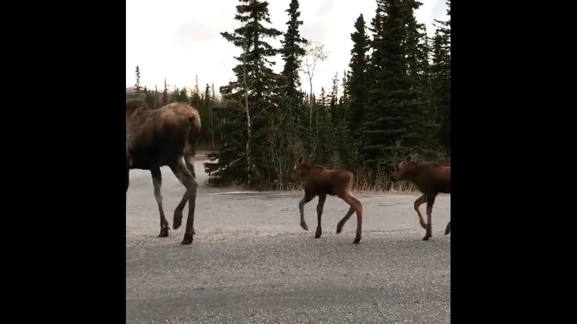 Alce atravessando estrada com seus filhotes