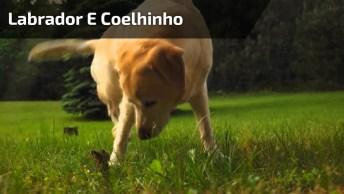 Amizade Entre Labrador E Coelhinho, Veja A Delicadeza Dele Com O Pequenino!