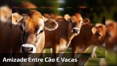 Amizade Entre Um Cachorro E Algumas Vacas, Muito Lindo, Confira!