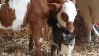 Amizade Entre Um Gato E Uma Vaca, Mais Uma Amizade Inusitada!