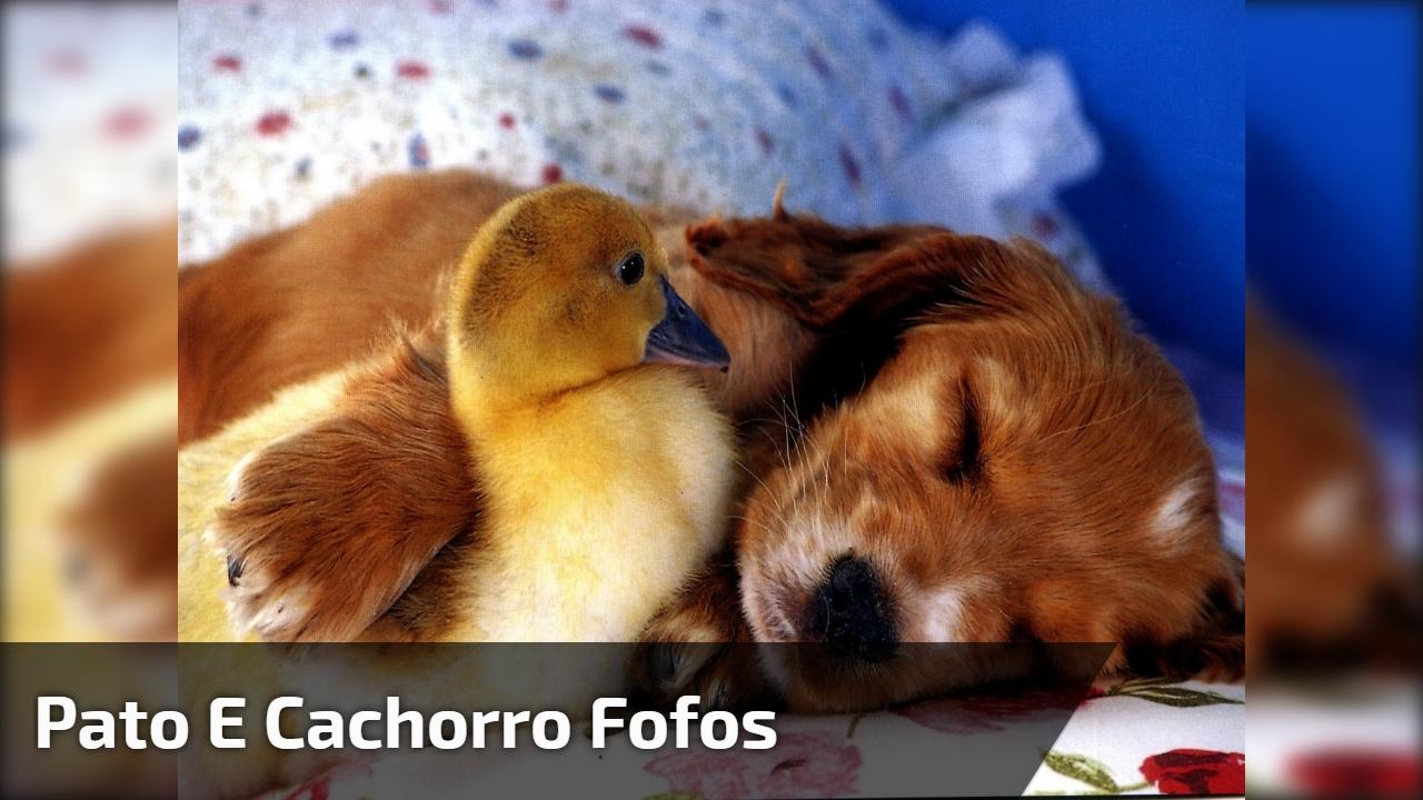 Amizade entre um pato e um cachorro, a cena mais linda que você vai ver hoje!