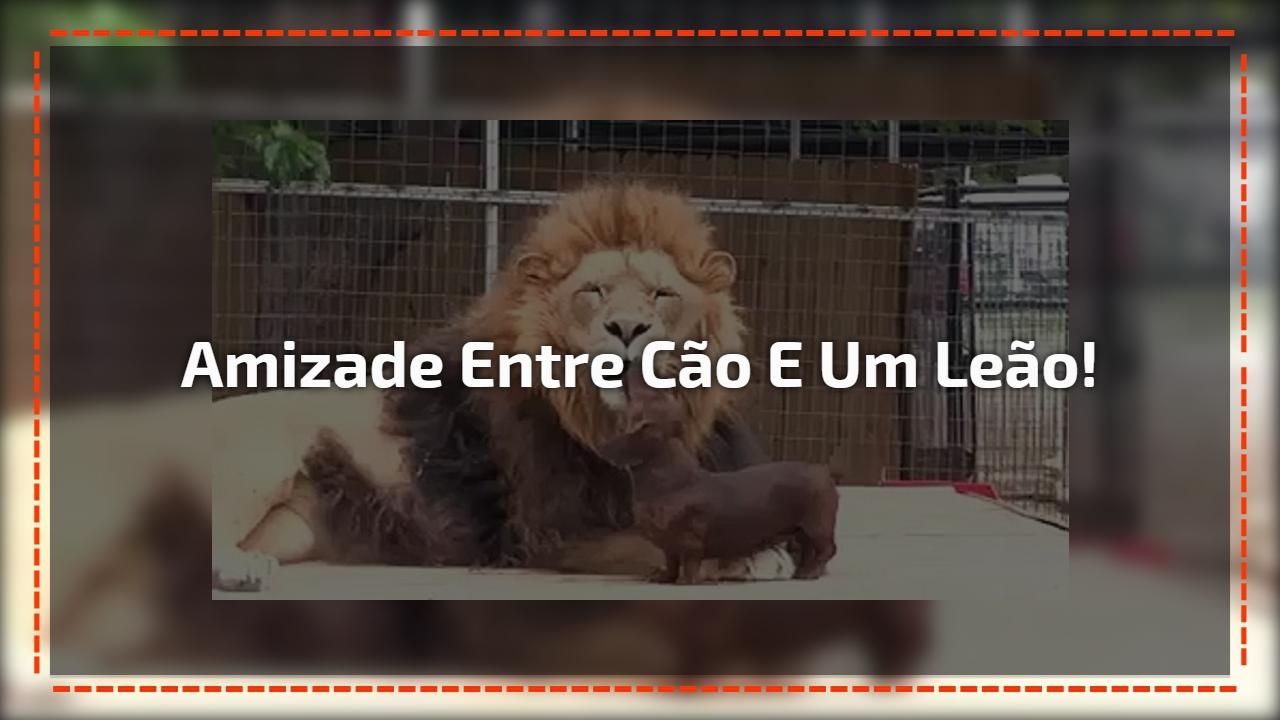Amizade inusitada entre leão e cachorro! Veja a paciência deste leão!!!