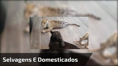 Animais Selvagens Domesticados, Quem Queria Ter Um Desse Em Casa?