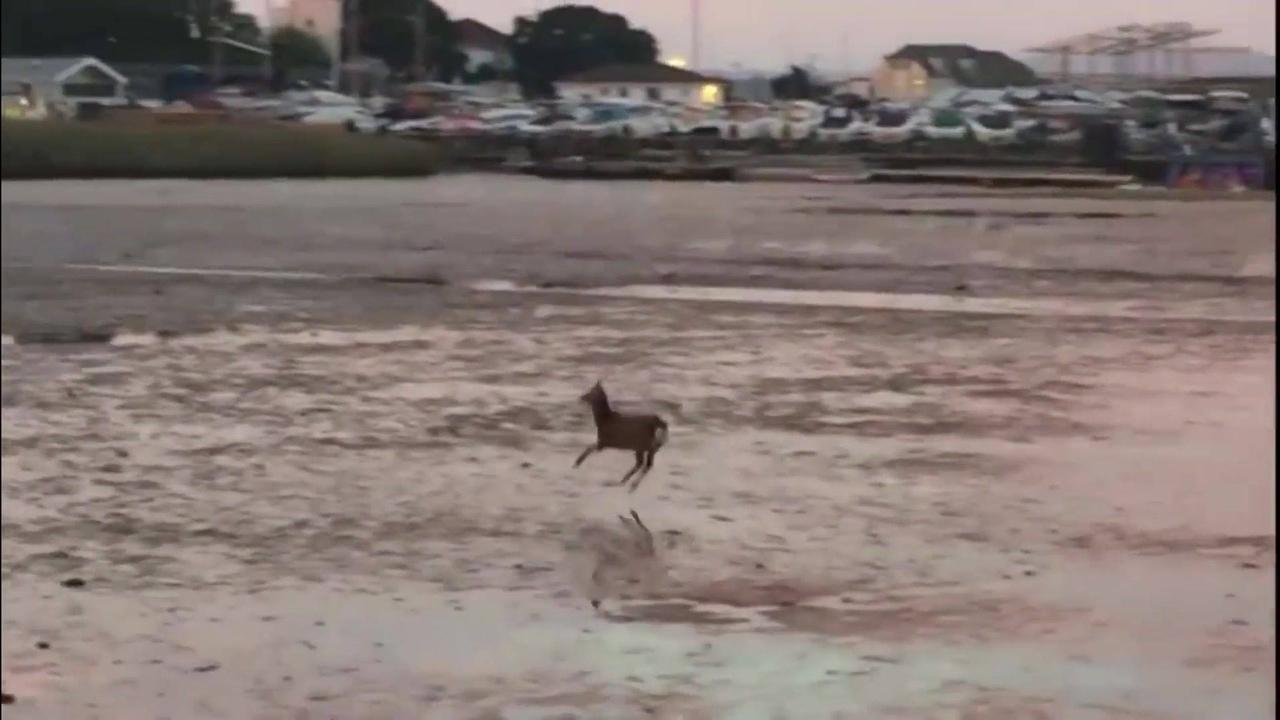 Animal caminhando com pulinhos sobre um lago congelado