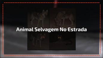 Animal Selvagem Atravessando A Rua No Meio Da Noite, Confira!