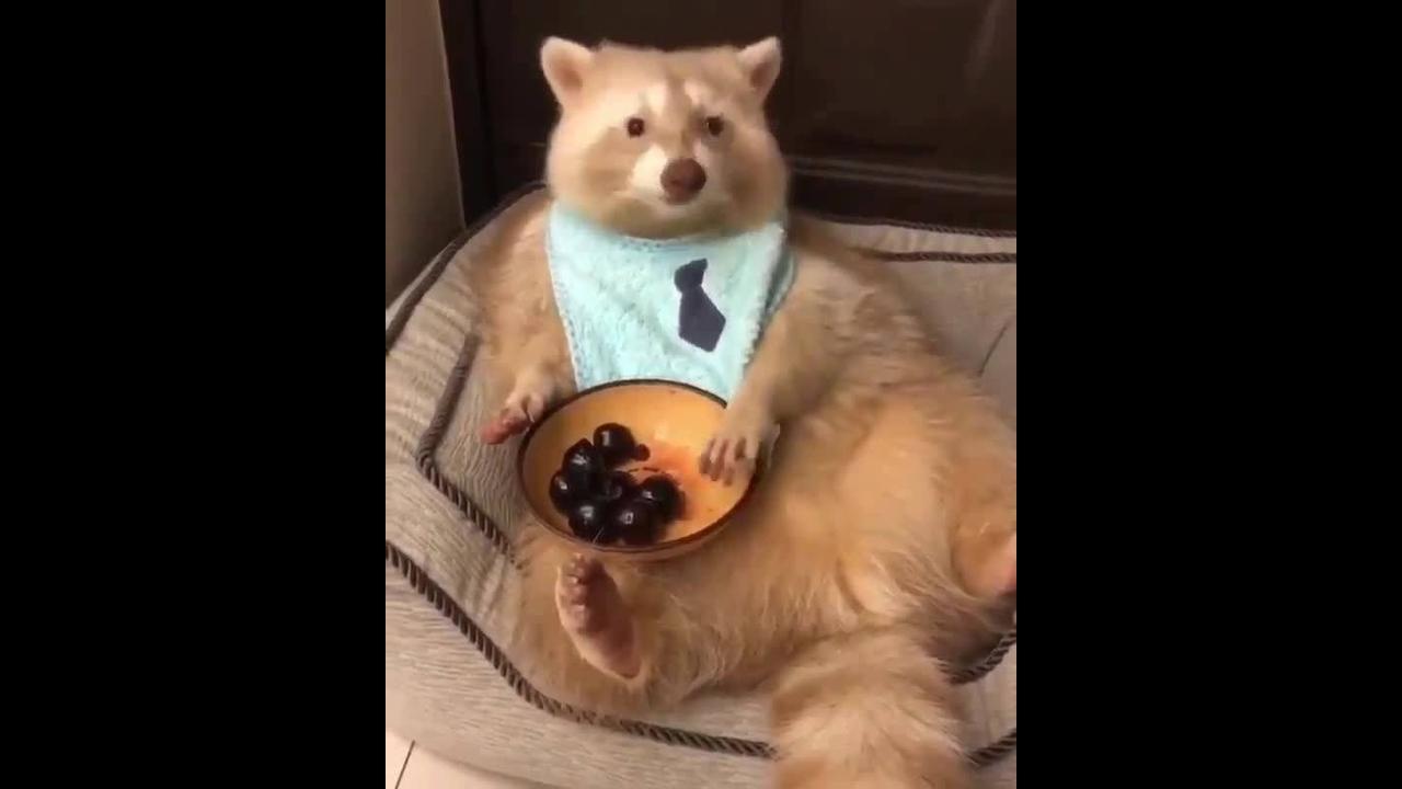 Animalzinho lindo sentado e comendo como gente
