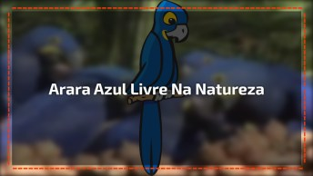 Arara Azul Livre Na Natureza, Como Este Animal É Lindo, Confira!
