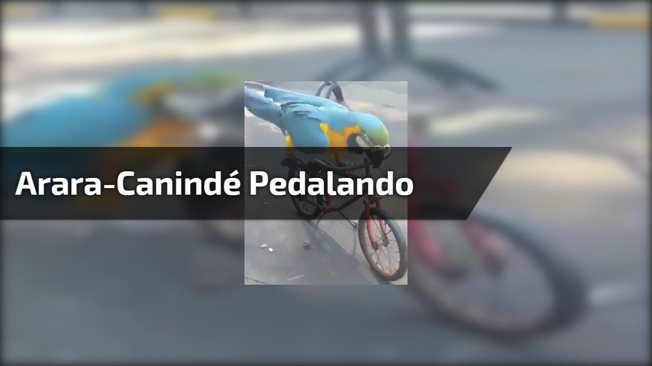 Arara-Canindé pedalando