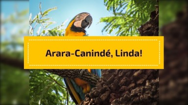 Arara-Canindé, Uma Das Aves Mais Lindas Da Natureza, Confira!