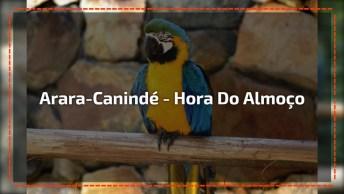 Arara-Canindé - Vaja Quantas Delas Estão Nesta Casa Para Comer!