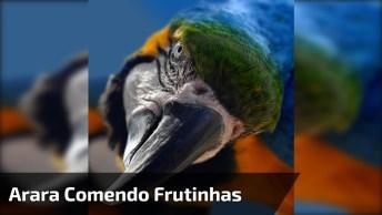 Arara Comendo Frutinhas Em Uma Árvore, Veja Que Lindo Pássaro!