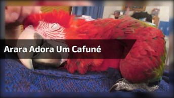 Arara Vermelha Que Adora Um Cafuné, Que Delicia Para Relaxar, Hein!