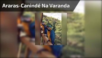 Araras-Canindé Vem Até A Varanda Desta Mulher Ganhar Um Petisco, Muito Linda!
