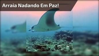 Arraia Nadando Tranquilamente No Mar, Como Os Animais São Lindos!