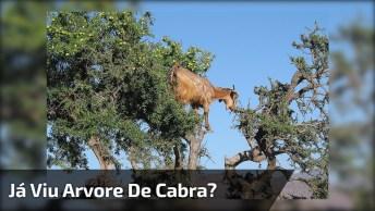 Arvore De Cabra, Hahaha! Olha Só A Quantidade De Animal Que Estava Nesta Árvore!