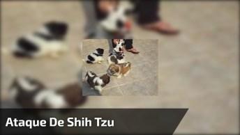 Ataque De Shih Tzu, Eles São As Coisas Mais Fofas Desse Mundo, Não São?
