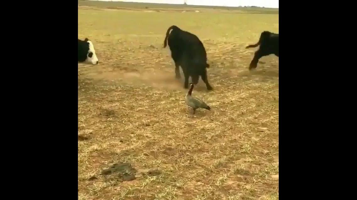 Ave mostra quem é que manda nessa fazenda hahaha