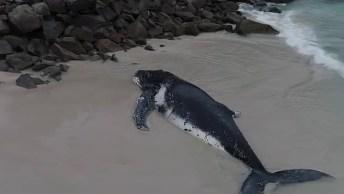 Baleia Jubarte Encalhada Na Praia Do Rio De Janeiro, Veja Como A Salvaram!