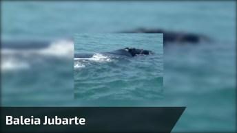 Baleia Jubarte Nadando No Canal Do Porto De Vila Velha E Vitória!